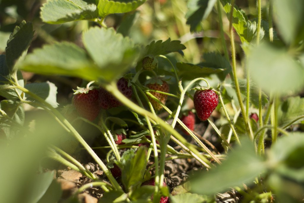 Krause berry farm carpe diem our way20150607_0011