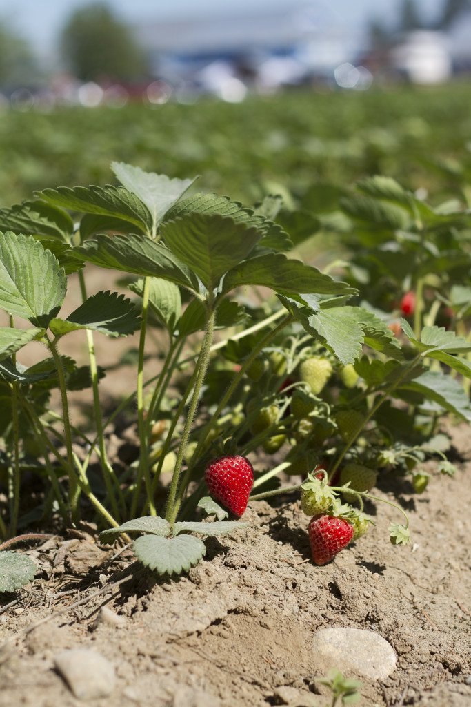 Krause berry farm carpe diem our way20150607_0021