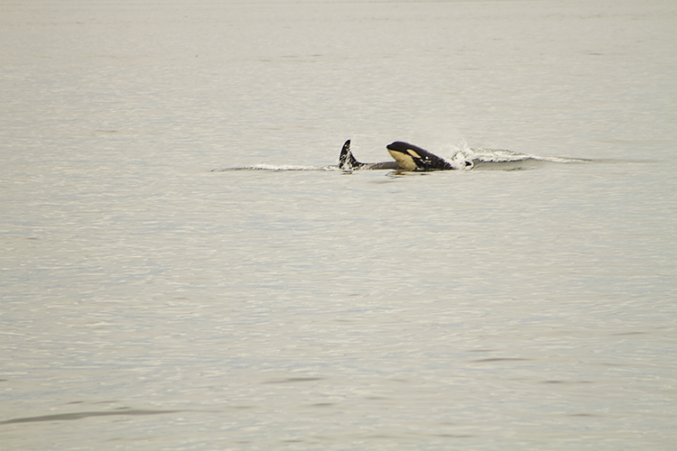 The Young Calf, breaching the surface