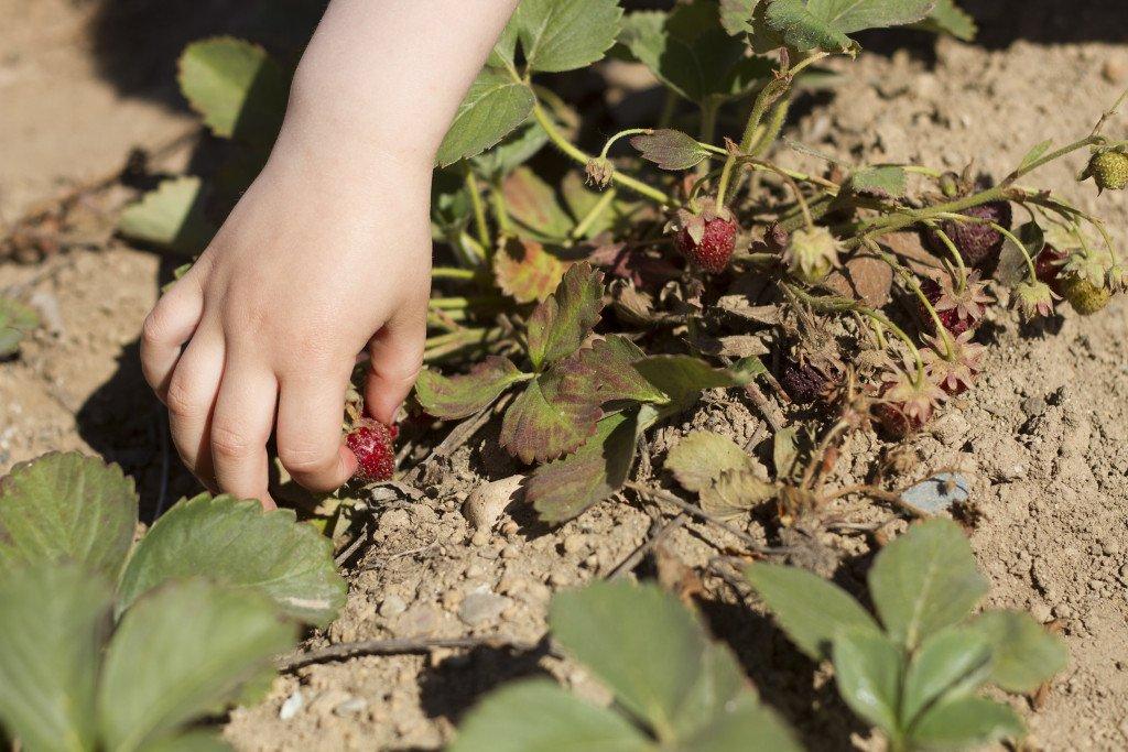 Krause berry farm carpe diem our way20150607_0006