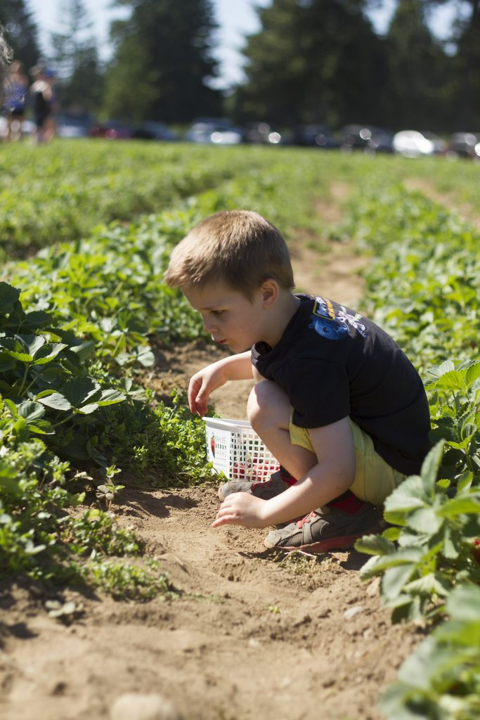 Strawberry Picking At Krause Berry Farms