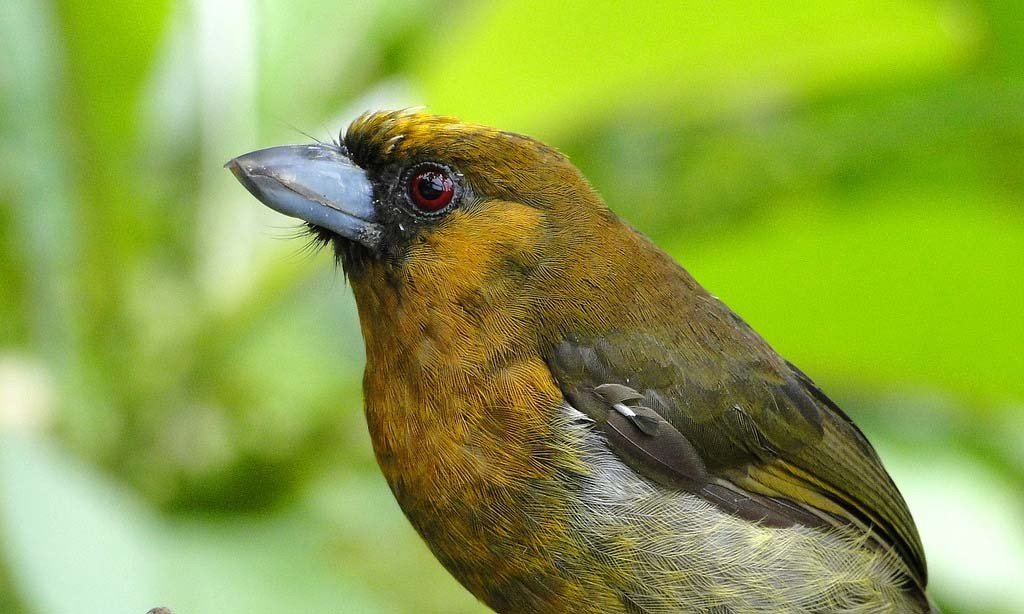 Prong Billed Barbet