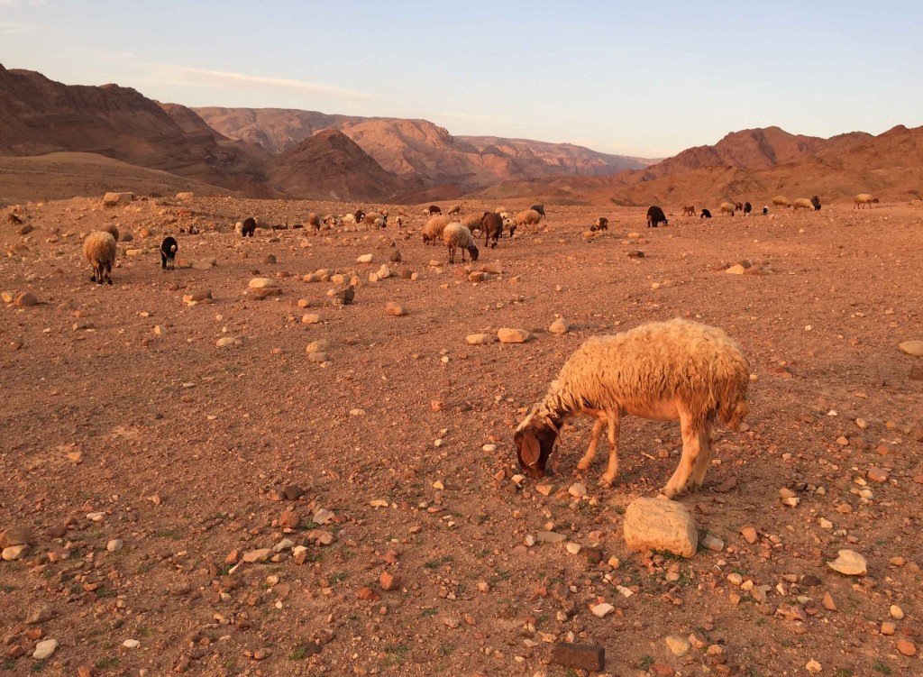 A Bedouin's Herd in Dana Biosphere Reserve at Sunset