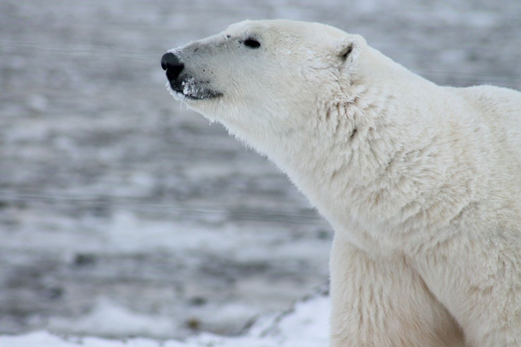 polar-bear-404315_1920