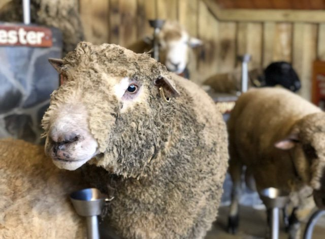 Agridome Rotorua Sheep