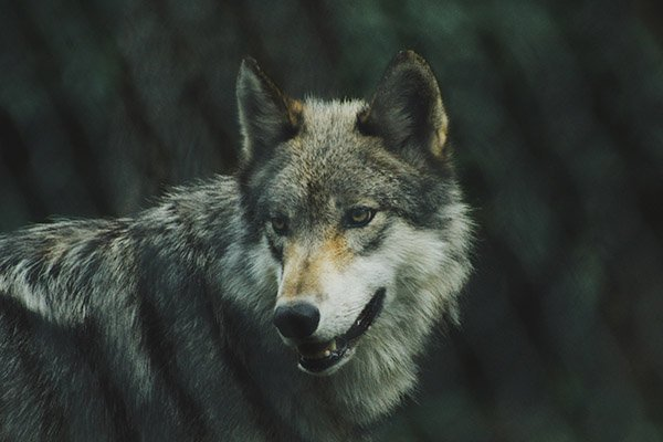 Wolf on Vancouver Island