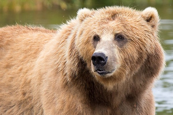 Alaska - Bear